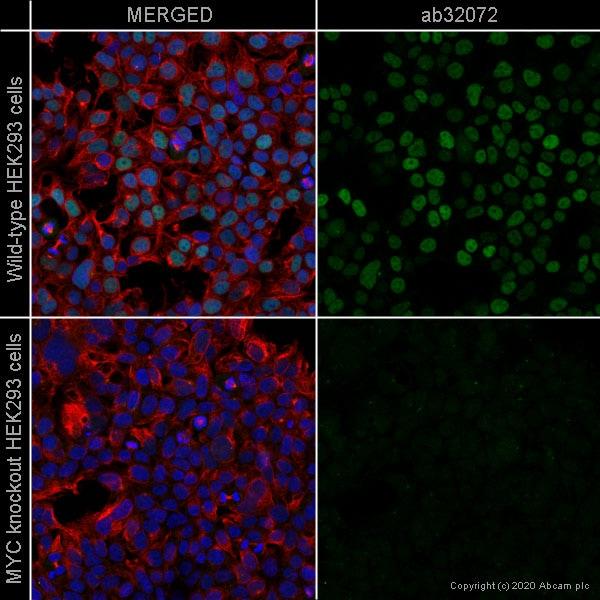 Immunocytochemistry - Anti-c-Myc antibody [Y69] (ab32072)