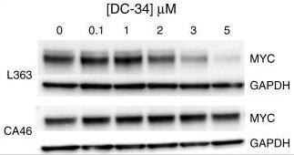 Western blot - Anti-c-Myc antibody [Y69] (ab32072)