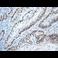 Immunohistochemistry (Formalin/PFA-fixed paraffin-embedded sections) - Anti-c-Myc antibody [Y69] (ab32072)