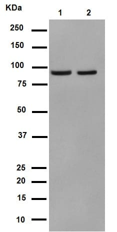 Western blot - Anti-p95/NBS1 antibody [Y112] (ab32074)