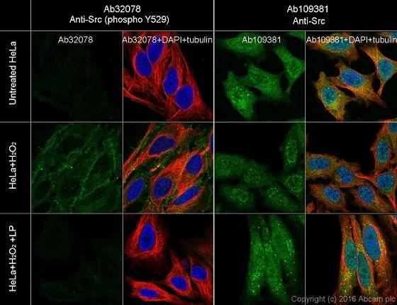 Immunocytochemistry/ Immunofluorescence - Anti-Src (phospho Y529) antibody [Y232] (ab32078)