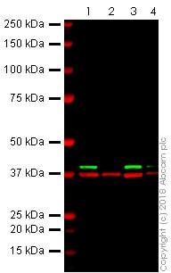 Western blot - Anti-ERK2 antibody [E460] (ab32081)