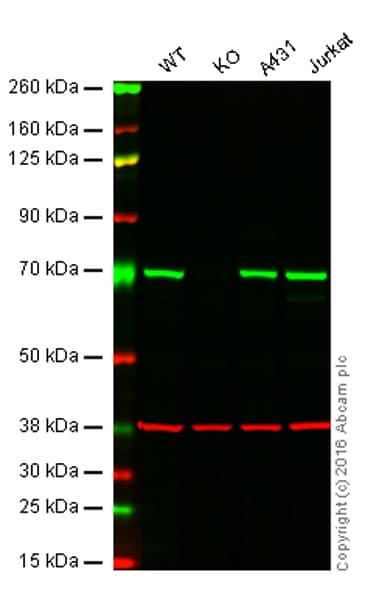 Western blot - Anti-SHP2 antibody [Y478] (ab32083)