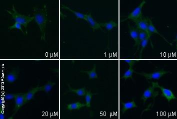 Immunocytochemistry/ Immunofluorescence - Anti-Paxillin antibody [Y113] (ab32084)