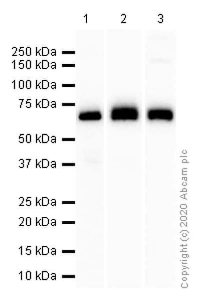 Western blot - Anti-Paxillin antibody [Y113] (ab32084)