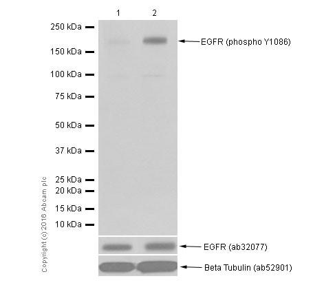 Western blot - Anti-EGFR (phospho Y1086) antibody [Y39] (ab32086)