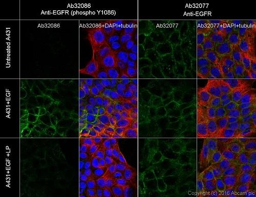 Immunocytochemistry/ Immunofluorescence - Anti-EGFR (phospho Y1086) antibody [Y39] (ab32086)