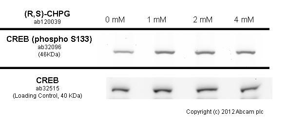 Western blot - Anti-CREB (phospho S133) antibody [E113] (ab32096)