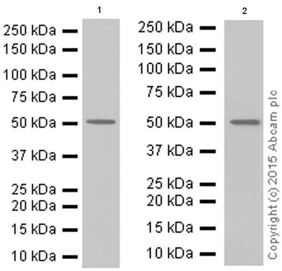 Western blot - Anti-beta Arrestin 1 antibody [E274] (ab32099)