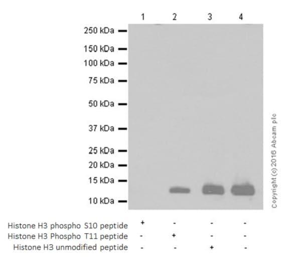 Western blot - Anti-Histone H3 (phospho S10 + T11) antibody [E173] (ab32107)