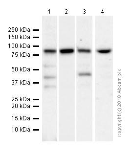 Western blot - Anti-RSK1 p90 antibody [E4] (ab32114)