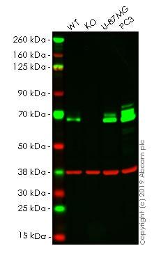 Western blot - Anti-Paxillin antibody [E228] (ab32115)