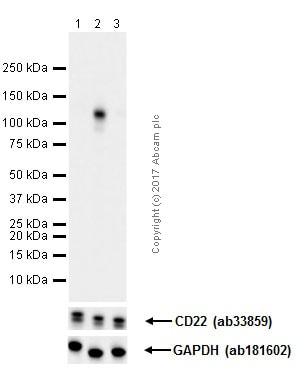 Western blot - Anti-CD22 (phospho Y822) antibody [Y506] (ab32123)