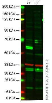 Western blot - Anti-Caspase-8 antibody [E6] (ab32125)