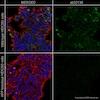 Immunocytochemistry - Anti-Amyloid Precursor Protein antibody [Y188] (ab32136)