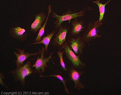 Immunocytochemistry/ Immunofluorescence - Anti-Daxx antibody [E94] (ab32140)