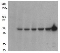 Western blot - Anti-GFP antibody [E385] (ab32146)