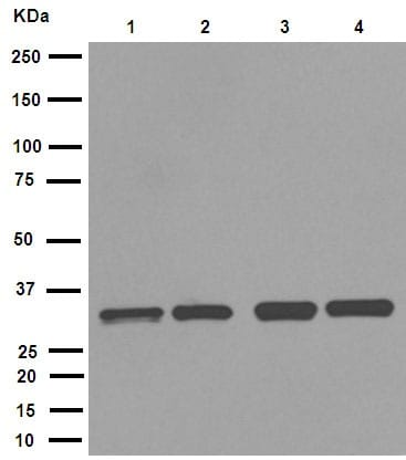 Western blot - Anti-Cdk2 antibody [E304] (ab32147)
