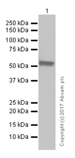 Western blot - Anti-Lck antibody [Y123] (ab32149)