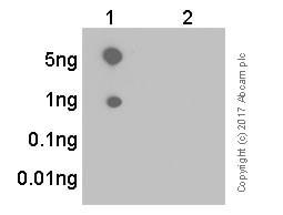 Dot Blot - Anti-EIF2S1 (phospho S51) antibody [E90] (ab32157)