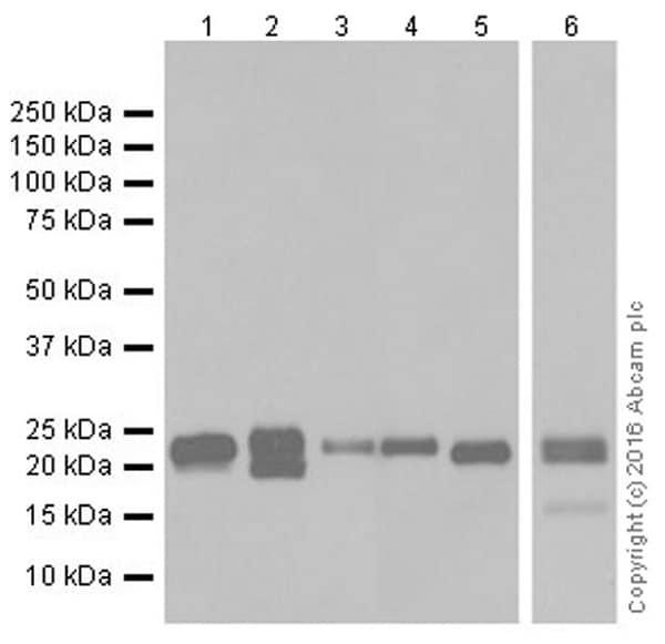 Western blot - Anti-Bim antibody [Y36] (ab32158)