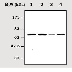 Western blot - Anti-SHP2 antibody [Y477] (ab32159)