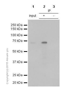 Immunoprecipitation - Anti-ATF2 antibody [E243] (ab32160)