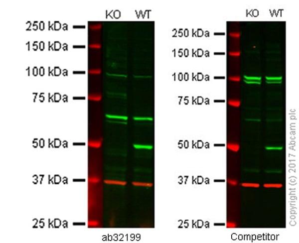 Western blot - Anti-PTEN antibody [Y184] (ab32199)