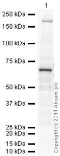 Western blot - Anti-PIAS1 antibody (ab32219)