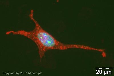 Immunocytochemistry/ Immunofluorescence - Anti-PIAS1 antibody (ab32219)