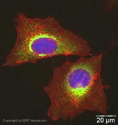 Immunocytochemistry/ Immunofluorescence - Anti-ABCE1 antibody (ab32270)