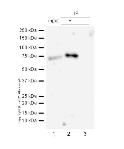 Immunoprecipitation - Anti-Caldesmon/CDM antibody [E89] (ab32330)
