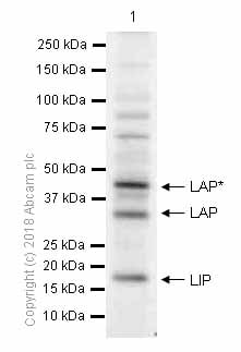 Western blot - Anti-CEBP Beta antibody [E299] - C-terminal (ab32358)