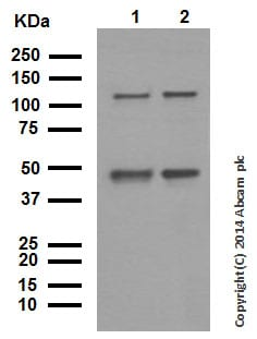 Western blot - Anti-NFkB p105 / p50 antibody [E381] (ab32360)