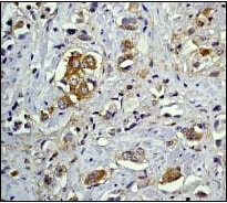 Immunohistochemistry (Formalin/PFA-fixed paraffin-embedded sections) - Anti-NFkB p105 / p50 antibody [E381] (ab32360)