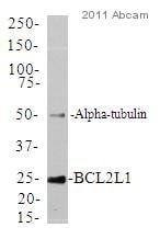 Western印迹-抗Bcl-XL抗体[E18](AB32670)
