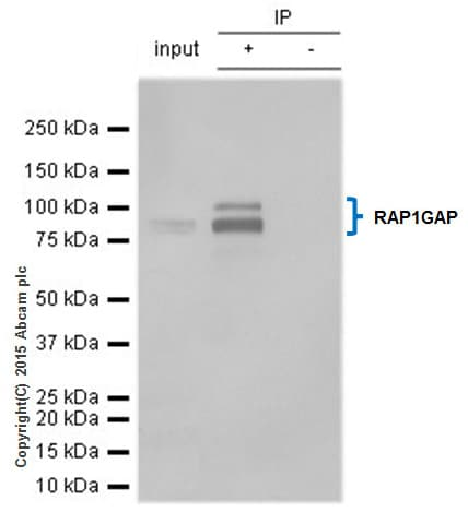 Immunoprecipitation - Anti-RAP1GAP antibody [Y134] (ab32373)