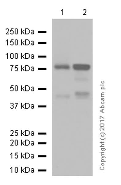 Western blot - Anti-PKC alpha antibody [Y124] (ab32376)