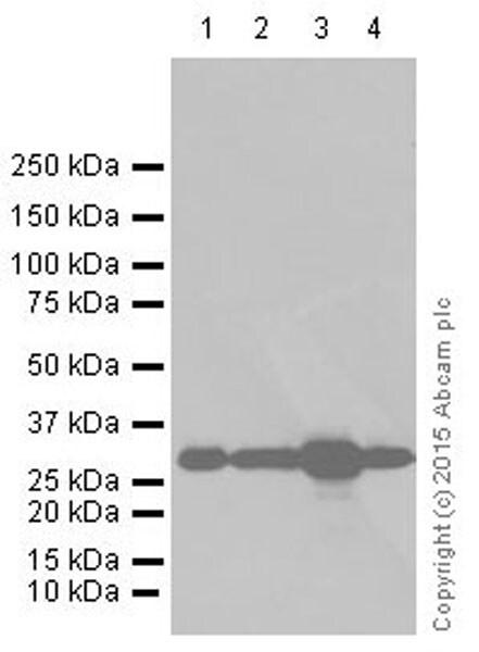 Western blot - Anti-CDK1 + Cdk2 + Cdk3 (phospho T14) antibody [E161] (ab32384)