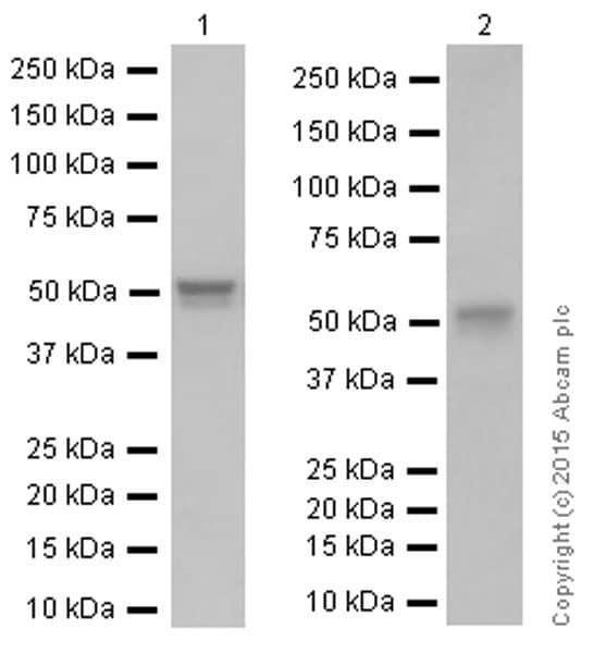 Western blot - Anti-Cyclin A2 antibody [Y193] (ab32386)