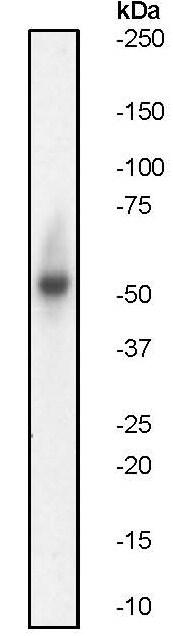 Western blot - Anti-p53 antibody [E26] (ab32389)