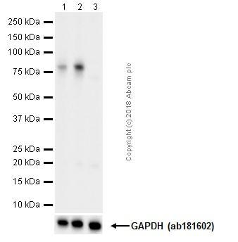 Western blot - Anti-RSK1 p90 (phospho T359 + S363) antibody [E238] (ab32413)