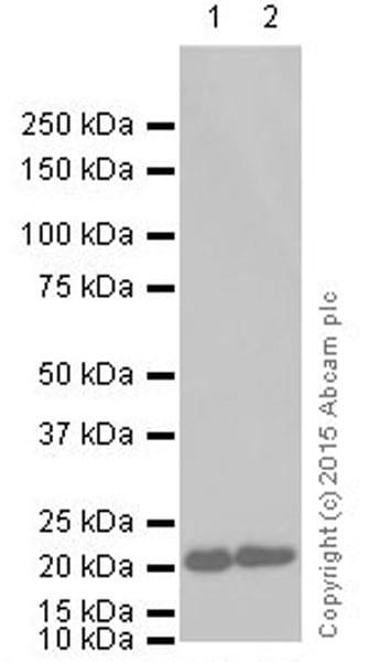 Western blot - Anti-GTPase HRAS antibody [Y132] (ab32417)