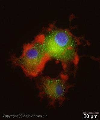 Immunocytochemistry/ Immunofluorescence - Anti-BLBP antibody (ab32423)