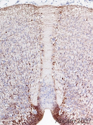 Immunohistochemistry (Formalin/PFA-fixed paraffin-embedded sections) - Anti-BLBP antibody - Neuronal Marker (ab32423)