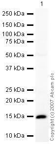 Western blot - Anti-BLBP antibody - Neuronal Marker (ab32423)