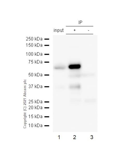 Immunoprecipitation - Anti-ZAP70 antibody [YE291] (ab32429)