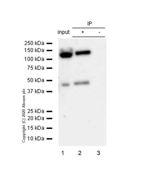 Immunoprecipitation - Anti-Glutamate Receptor 1 (AMPA subtype) antibody [E308] (ab32436)