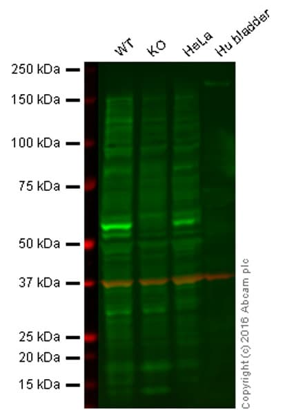 Western blot - Anti-Cdc25C antibody [E302] (ab32444)