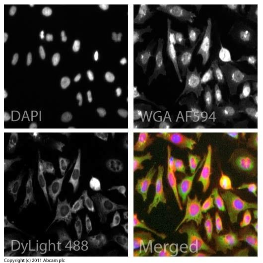 Immunocytochemistry/ Immunofluorescence - Anti-CD31 antibody (ab32457)